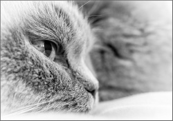Close up to BJ British Shorthair cat close up in Monochrome Cee's Black&White Challenge