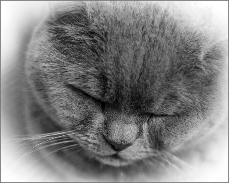 Sleepy Kitten British Shorthair catclose up in Monochrome Cee's Black&White Challenge