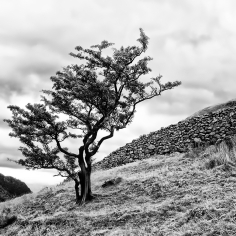 Borrowdale Tree©HelenBushe